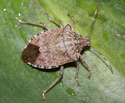 stink bugs stink science in our world certainty controversy. Black Bedroom Furniture Sets. Home Design Ideas