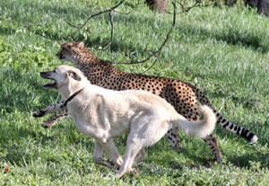 dogs a cheetah s best friend siowfa12 science in our world