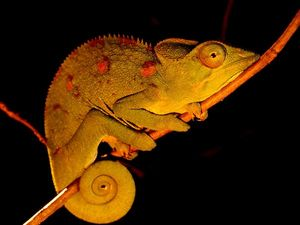 Thumbnail image for panther-chameleon_8429_600x450.jpg