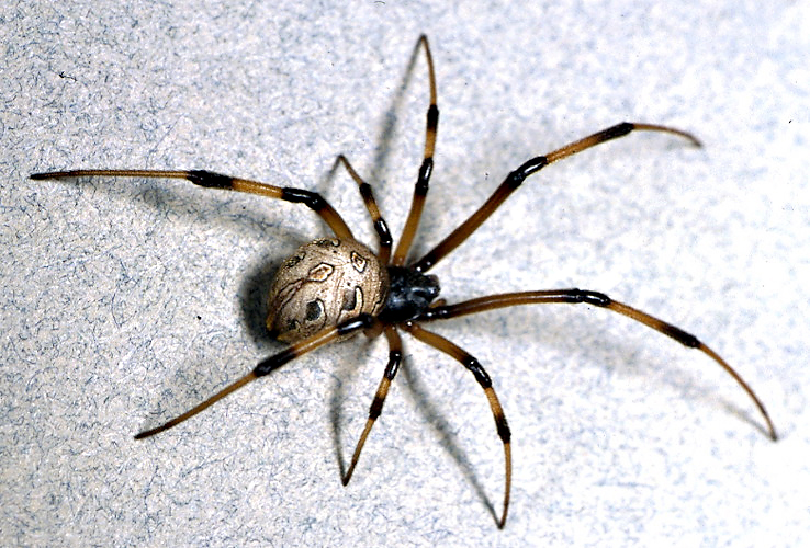 brown_widow_spider_large.jpg