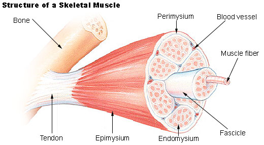 muscle_structure2.jpg