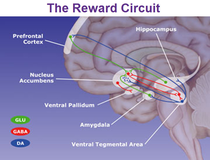 the-reward-circuit-nucleus-accumbens-ventral-pallidum-ventral-tegmental-area-and-amygdala.jpg