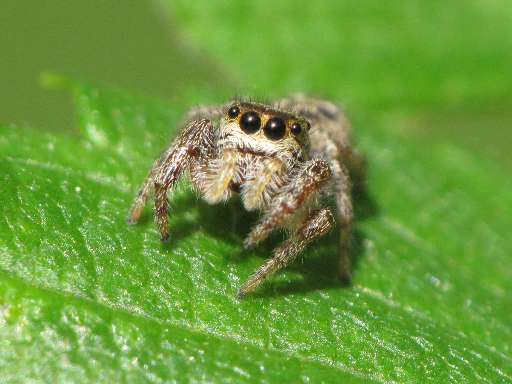 spiders jumping spider cute fuzzy why pretty lots eyes trapdoor arachnids should want bug siowfa13 comments night looking