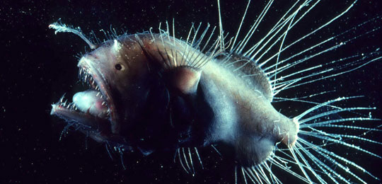 Fish at the bottom of the ocean siowfa13 science in our for Where do angler fish live