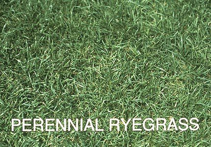 perennial ryegrass, Beautiful flower