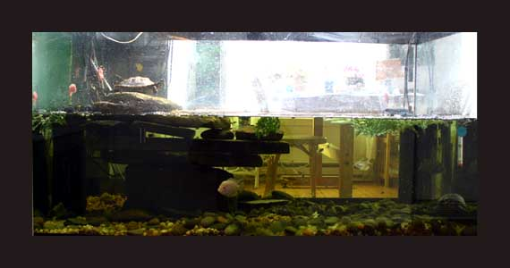 Aquarium for 3 Turtles, a few Convicts, snails and Wh atever