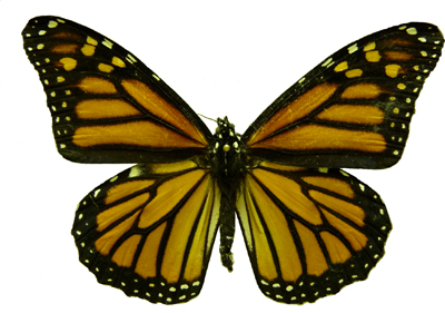 an adult monarch butterfly