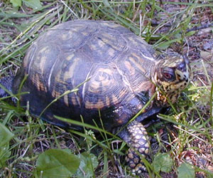an eastern box turtle