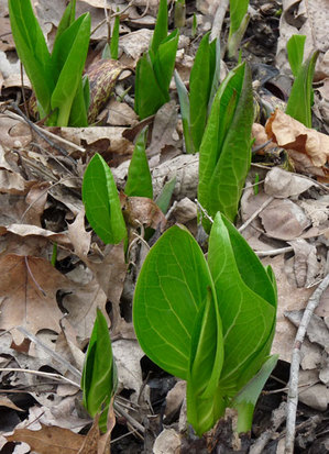 skunk_cabbage_leaves.jpg