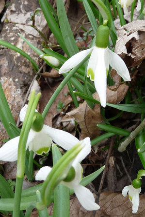snowdrops.jpg