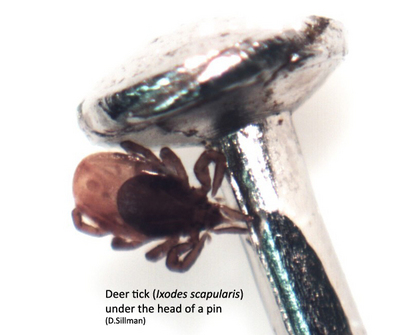Deer tick (Ixodes scapularis) under the head of a pin