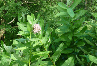 a milkweed plant in flower