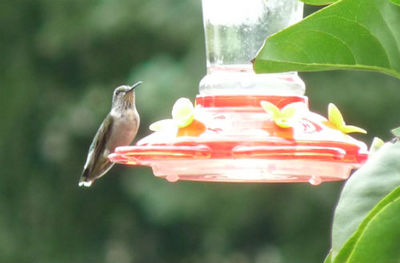 female ruby-throated hummingbird at a nectar feeder