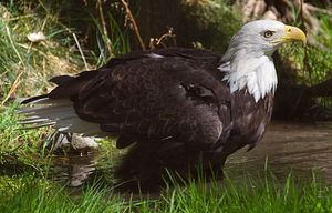 Bald_Eagle_ Tony Hisgett Wikimedia Commons.jpg