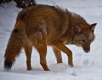 Thumbnail image for eastern coyote ForestWander Wikimedia Commons.jpg