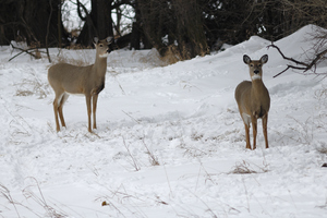 deer in the snow John Carrel flickr.jpg