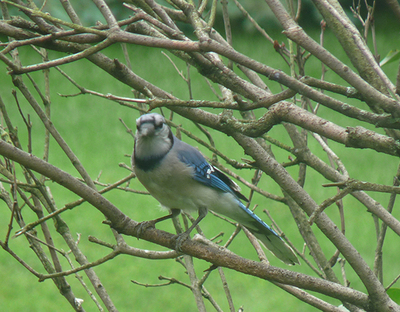Blue jay in a lilac bush