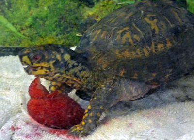 turtle_eating_strawberry.jpg