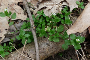 common_chickweed3.jpg
