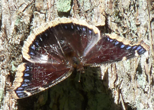 mourning_cloak_small.jpg