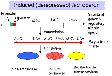 inducible operon