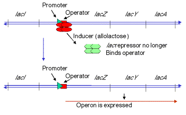 inducible operons are generally anabolic pathways
