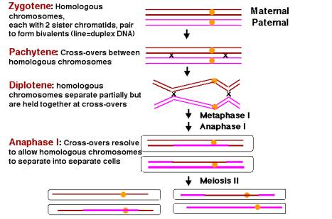 steps of meiosis. of meiosis I (diakinesis,