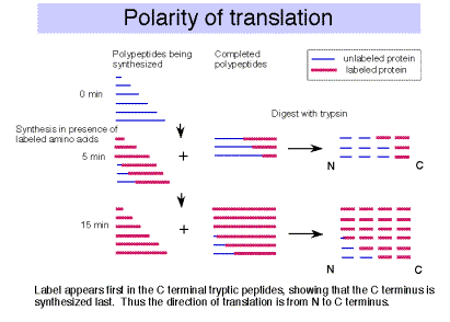 14 Translation Protein Synthesis Biology Libretexts