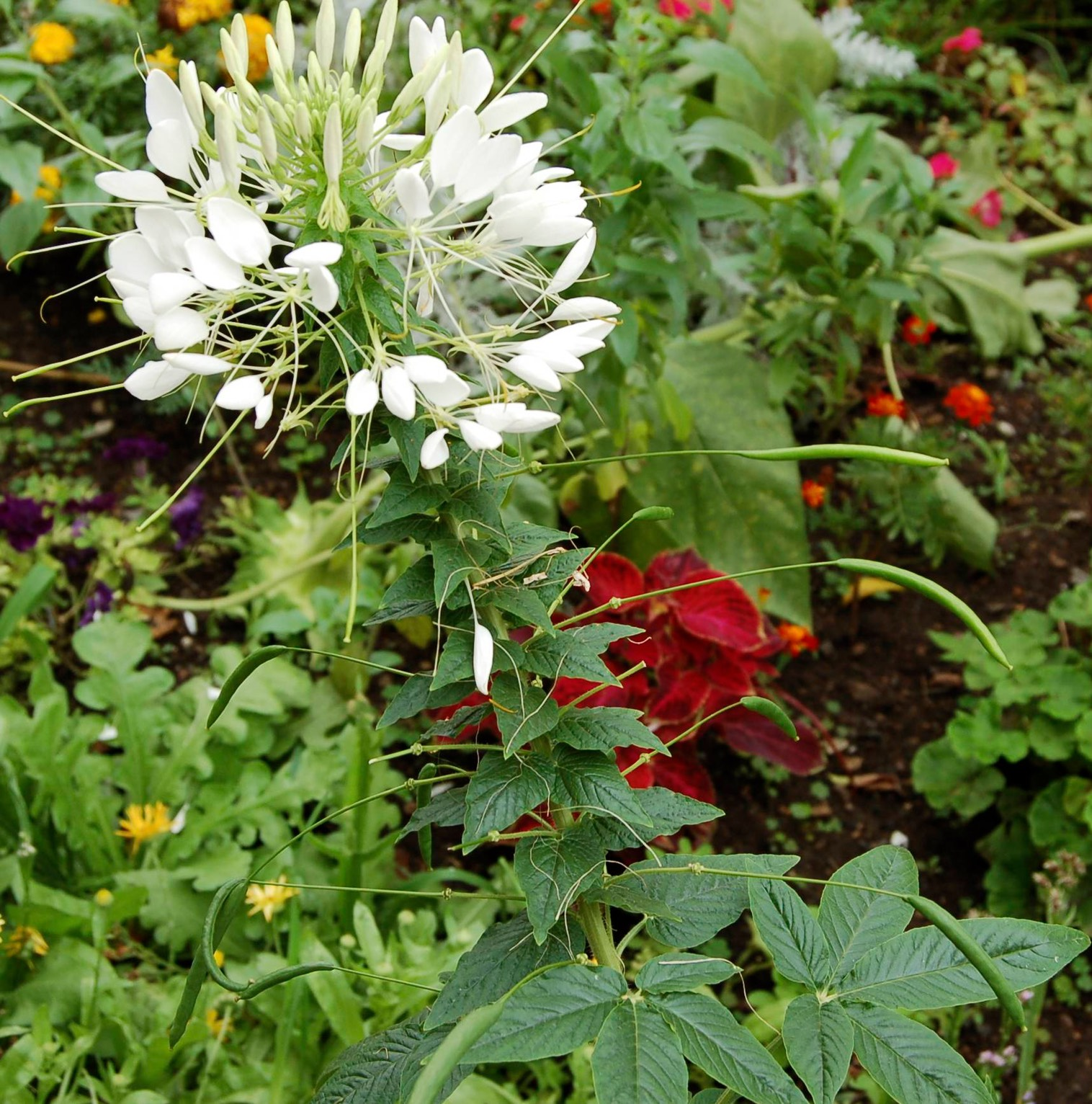 Cleome Horticulture 131