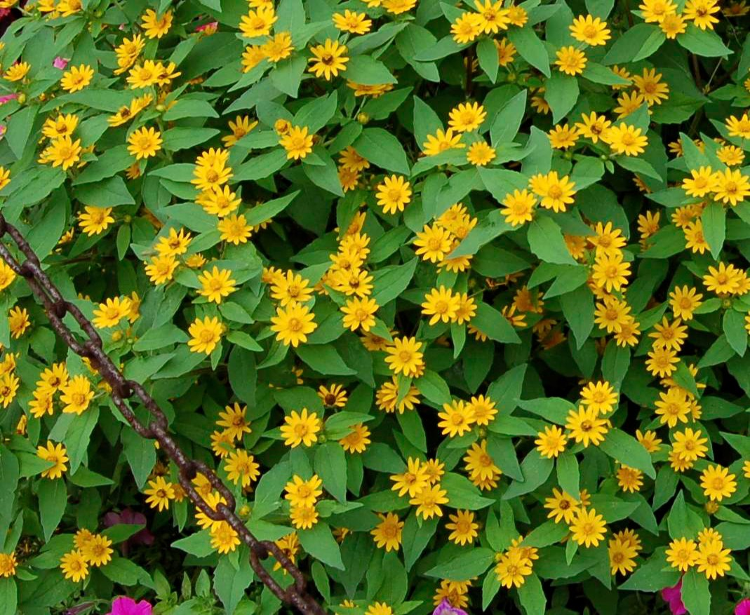 Annual Ground Cover Plants
