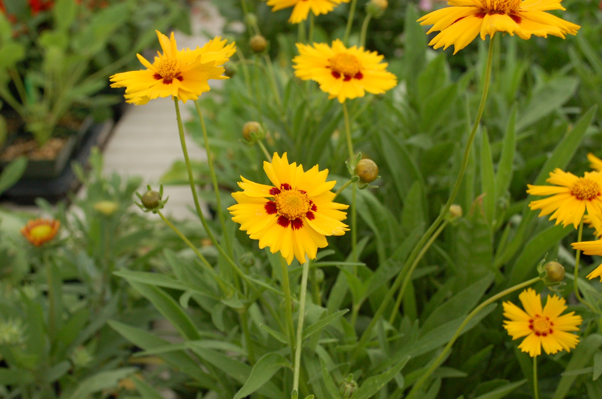 Coreopsis Horticulture 131