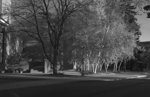 Grayscale birches in morning sun.