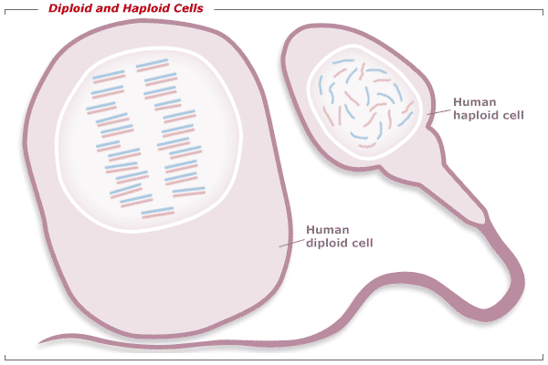 Diploid and haploid cells.