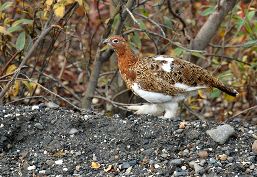 DSC_2615%20willow%20ptarmigan.jpg