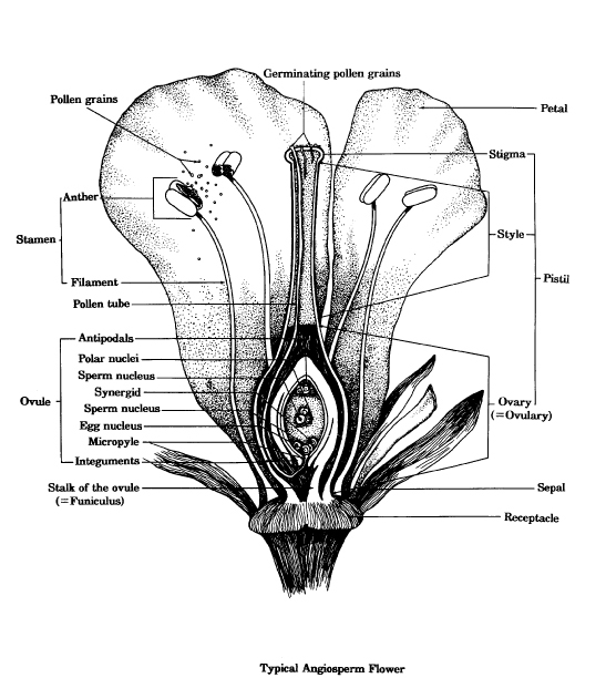 Flowering Plant Diagram Pollen Grain