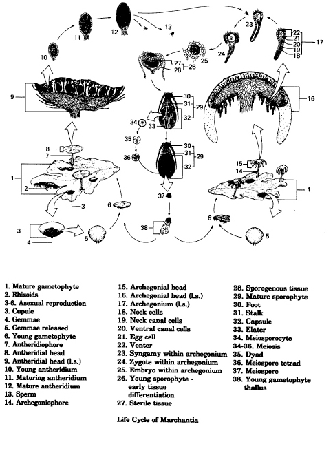 Marchantia asexual reproduction definition
