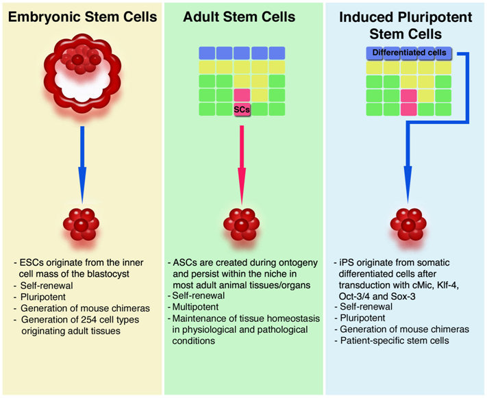 Embryonic stem cell research vs adult stem cell